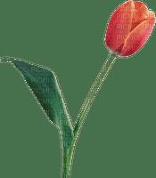 tulipe flower spring tulipes fleur printemps
