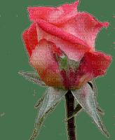 ruusu, rose, kukka, flower, fleur