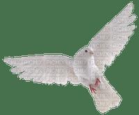 white dove pigeon🕊🕊