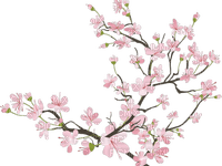 cherry tree branch blossom sunshine3
