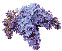 fleur lilas