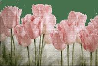 tulipe.Cheyenne63