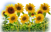 fleur_flower-fleurs_flower -Sunflower_tube-decoration_flower_tournesol-image-vase_jaune-yellow__Blue DREAM 70